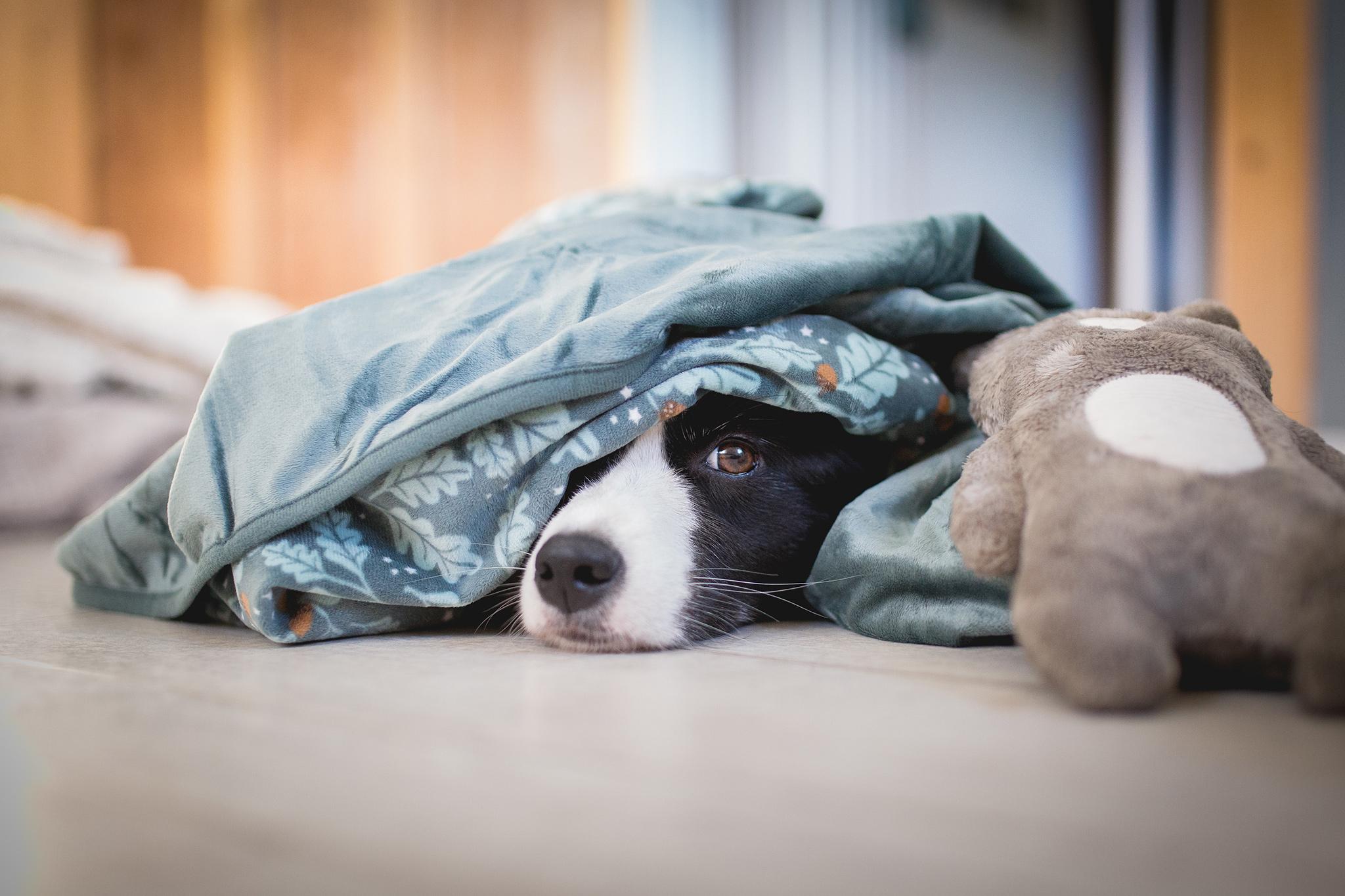 Border Collie Hündin schaut unter einer Fleece-Decke hervor