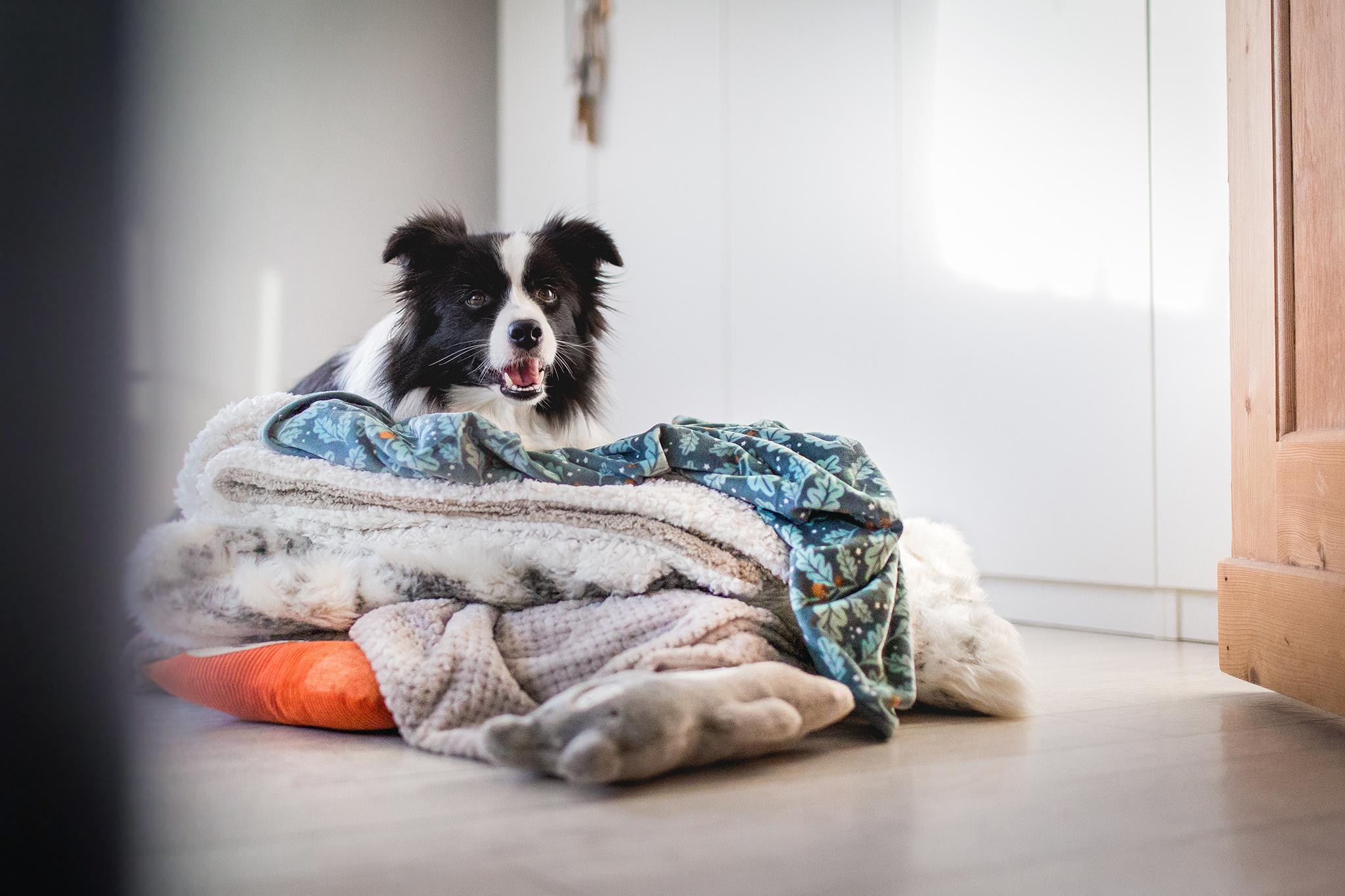 Trächtige Border Collie Hündin liegt auf einem Stapel Decken