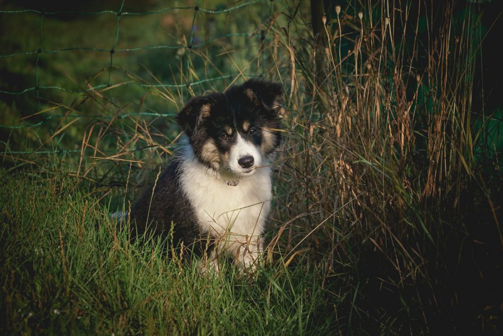 Tricolor Border Collie Welpe