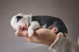 Border Collie Welpe, eine Woche alt, in der Hand des Züchters