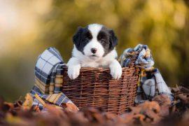 5 Wochen alter Border Collie Welpe in einem Weidenkörbchen