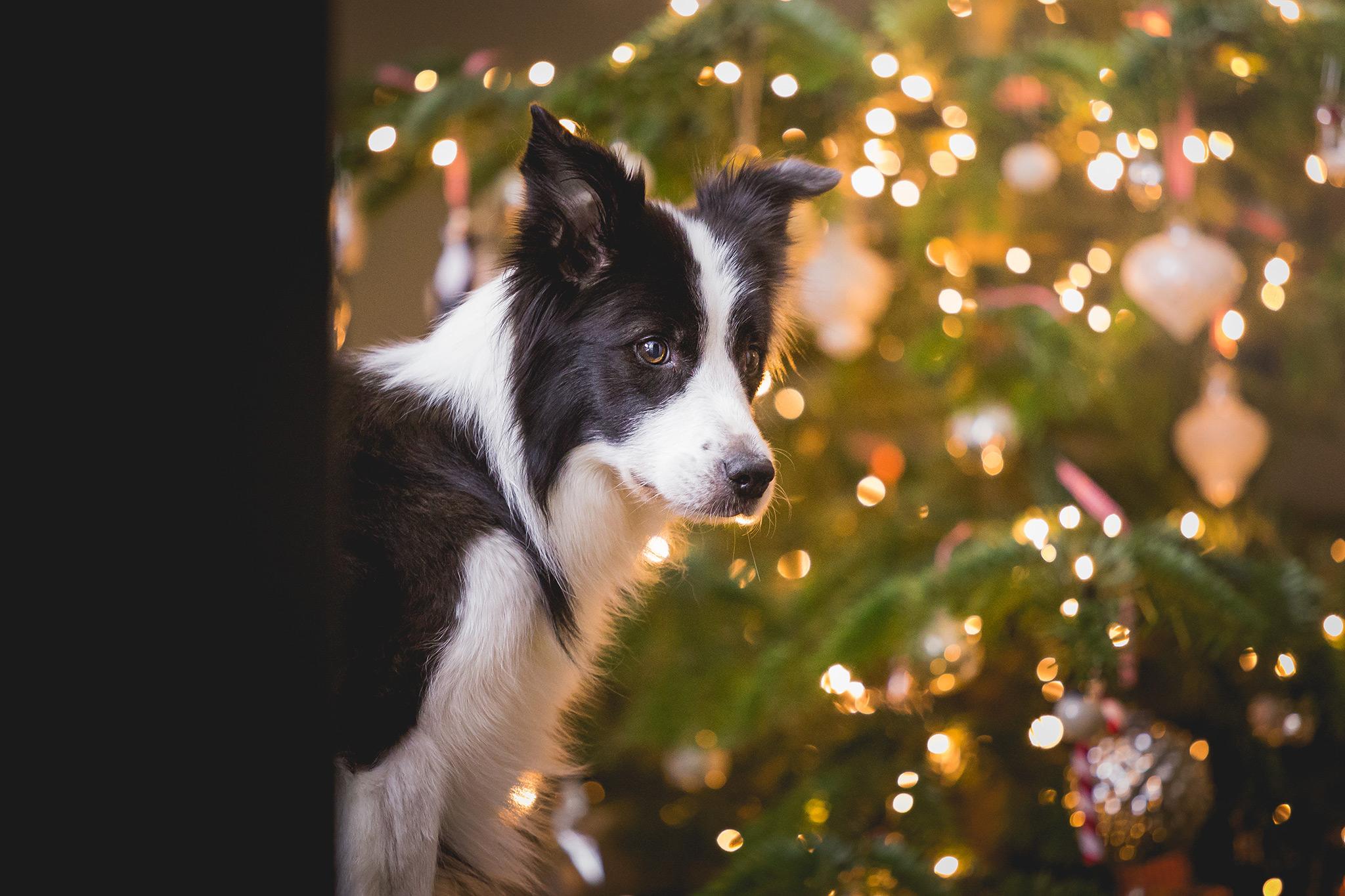 Border Collie Hündin vor dem Weihnachtsbaum