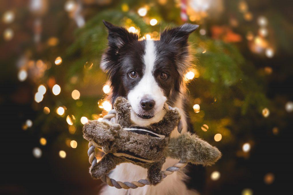 Border Collie Hündin Ida mit einem Hunter Eichhörnchen Spielzeug