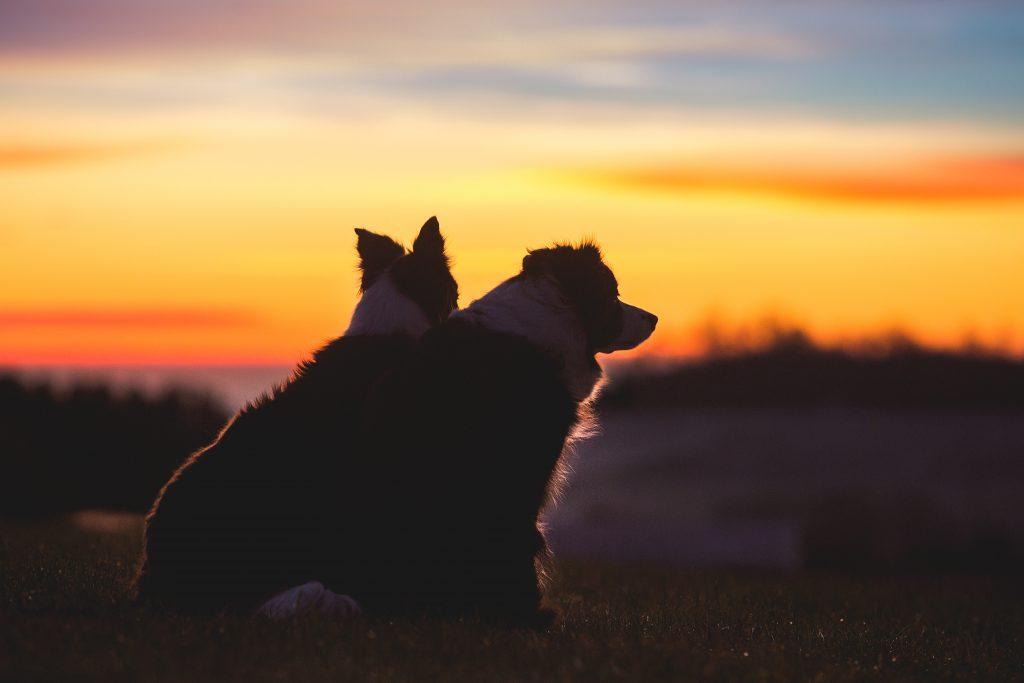 Zwei Border Collies im Sonnenaufgang