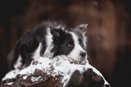 Border Collie Hündin im Schnee