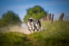 Zwei Border Collie Hündinnen rennen auf einem Feldweg