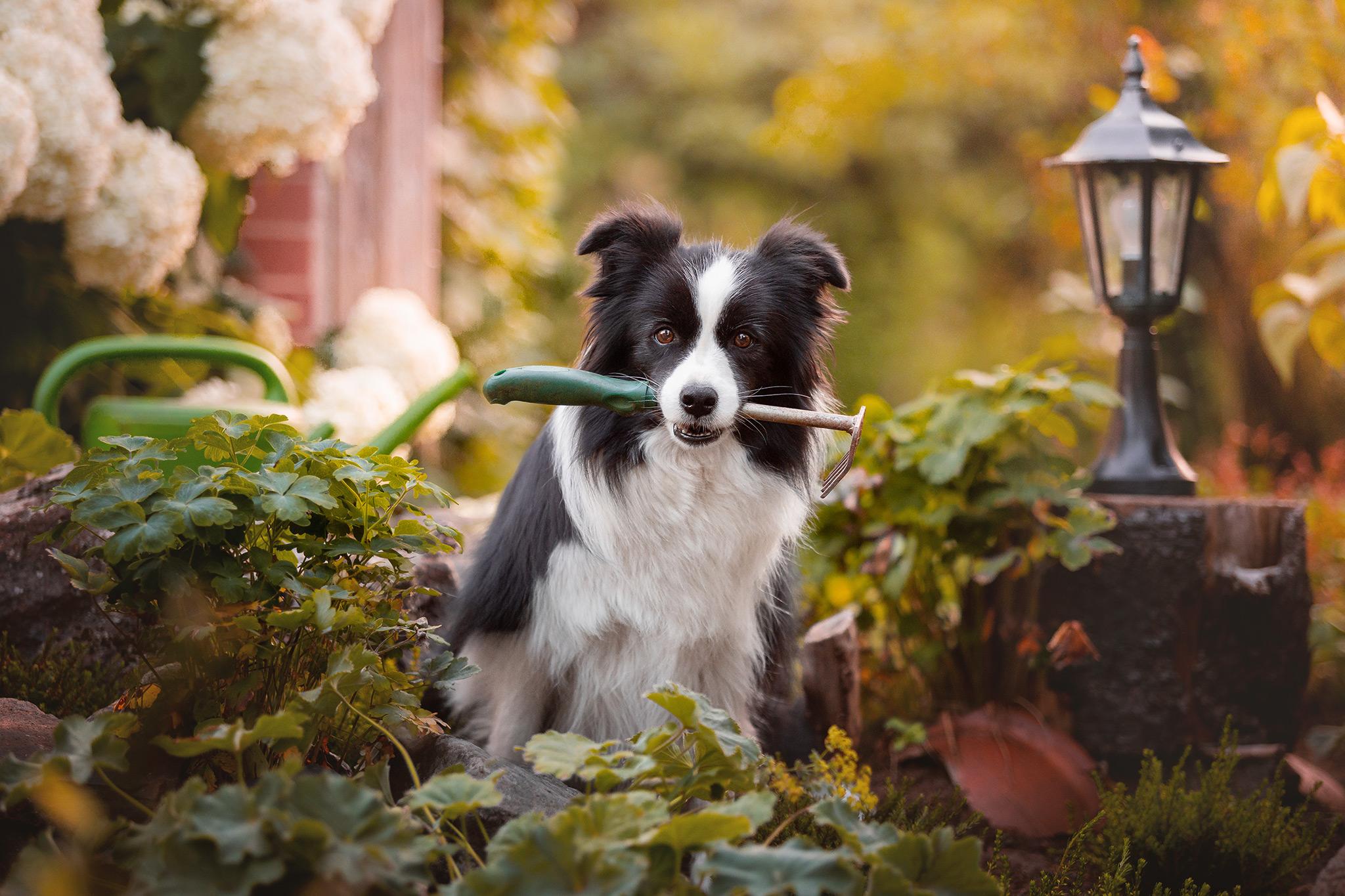 Border Collie Hündin mit Gartenarbeitsgerät