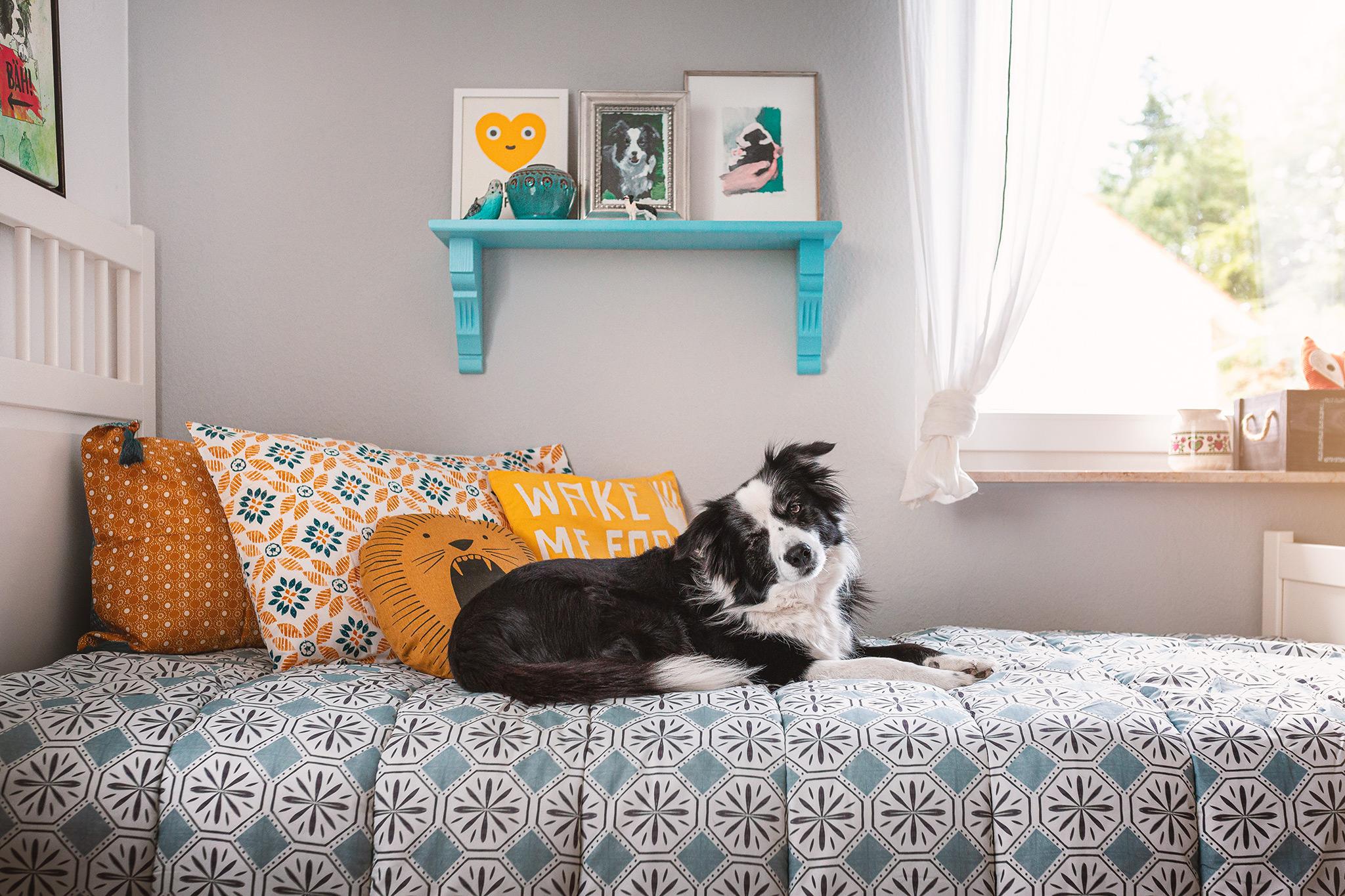 Border Collie Hündin auf einem Bett