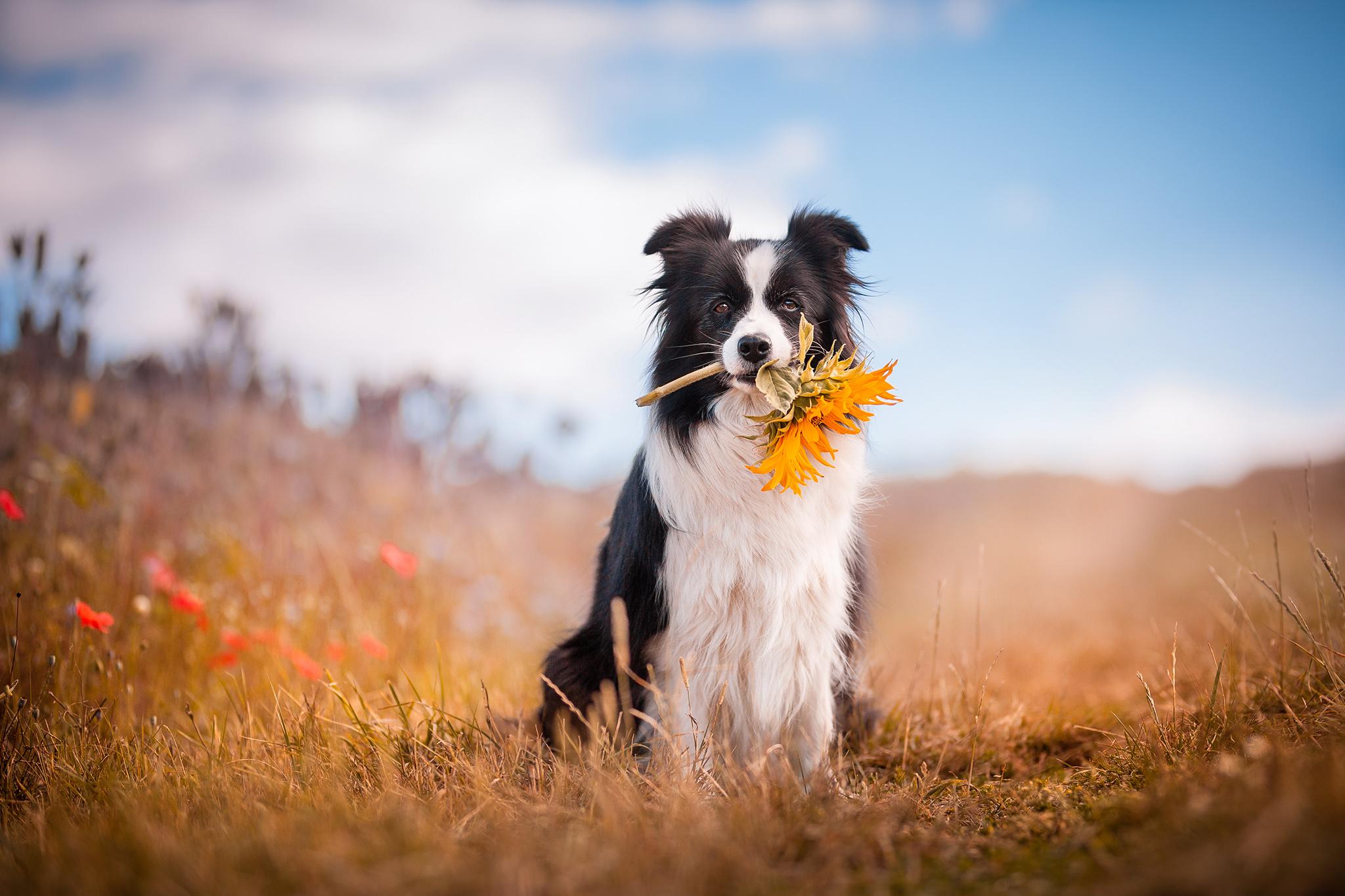 Border Collie Hündin hält eine Sonnenblume in der Schnauze