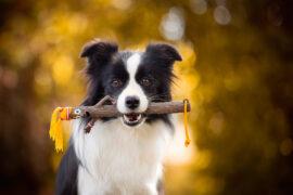 Border Collie Hündin mit Hundespielzeug