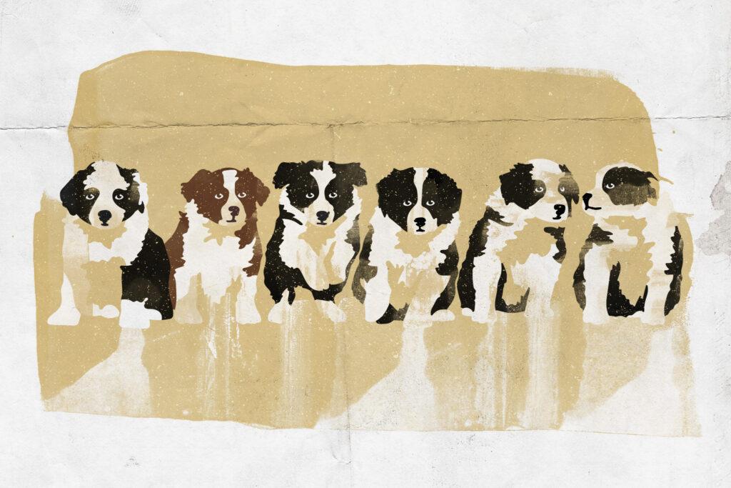 Illustration Border Collie Welpen