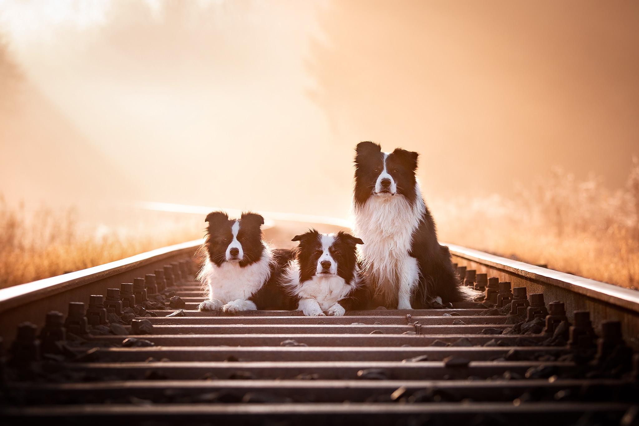 Drei Border Collies an einem Herbstmorgen auf den Bahngleisen