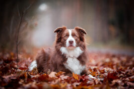 Border Collie chocolate, braun