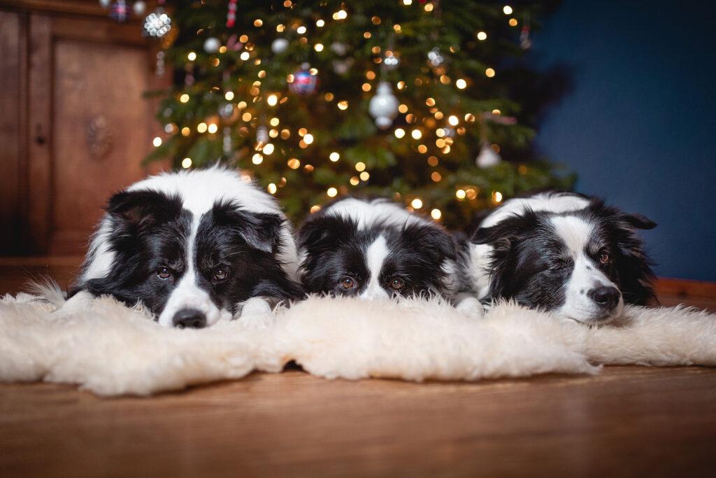 Border Collies unter dem Weihnachtsbaum