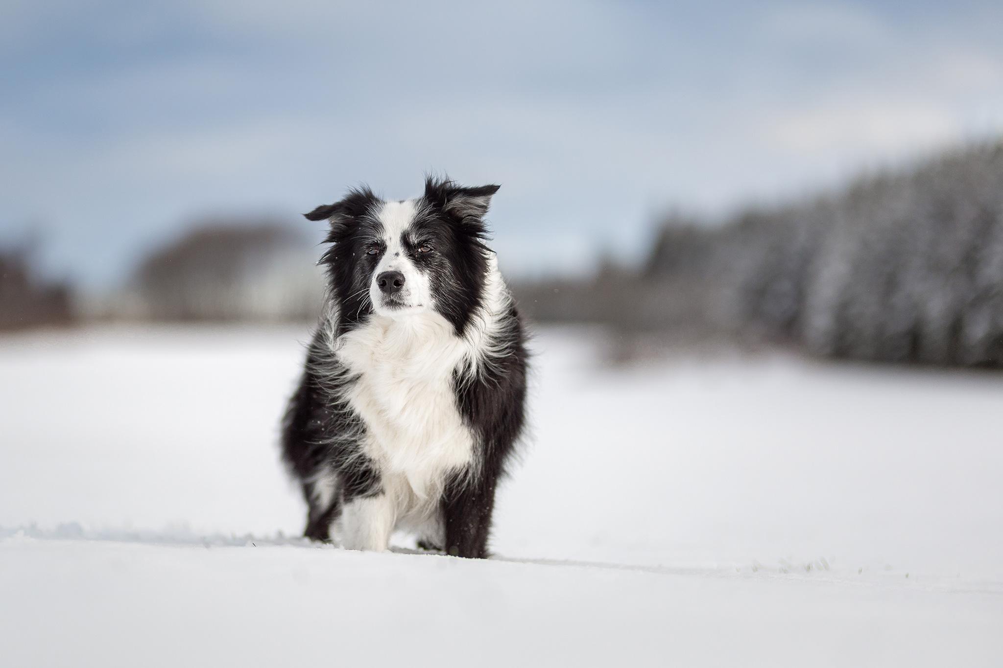 Border Collie Hündin im Schnee auf der Fuchskaute im Westerwald