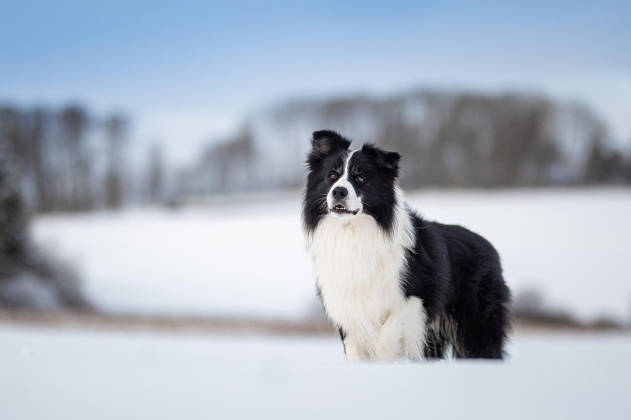 Border Collie im Schnee auf der Fuchskaute im Westerwald