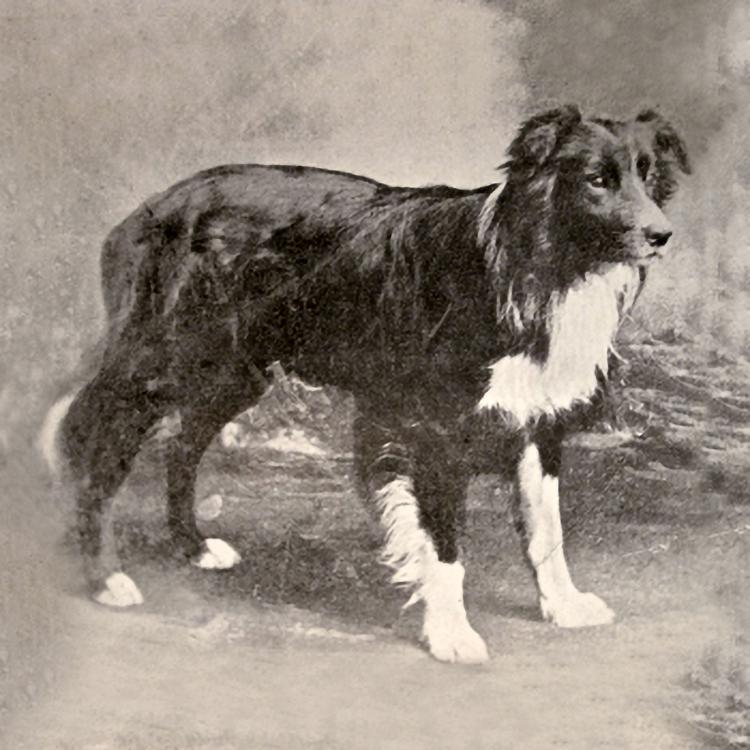 Old Hemp Border Collie