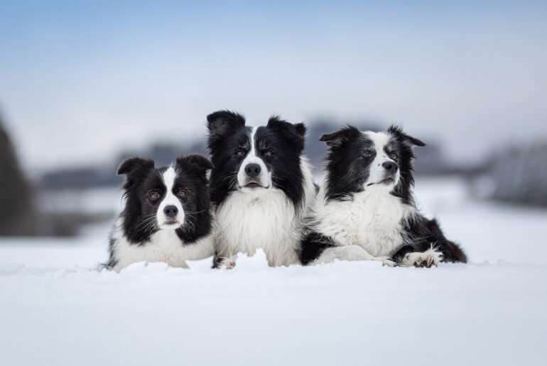 Drei Border Collies im Schnee: Heidi, Zion und Nell