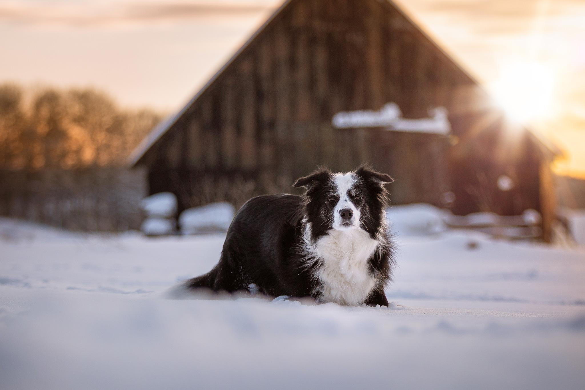 Border Collie Hündin im Schnee bei Waigandshain, Westerwald