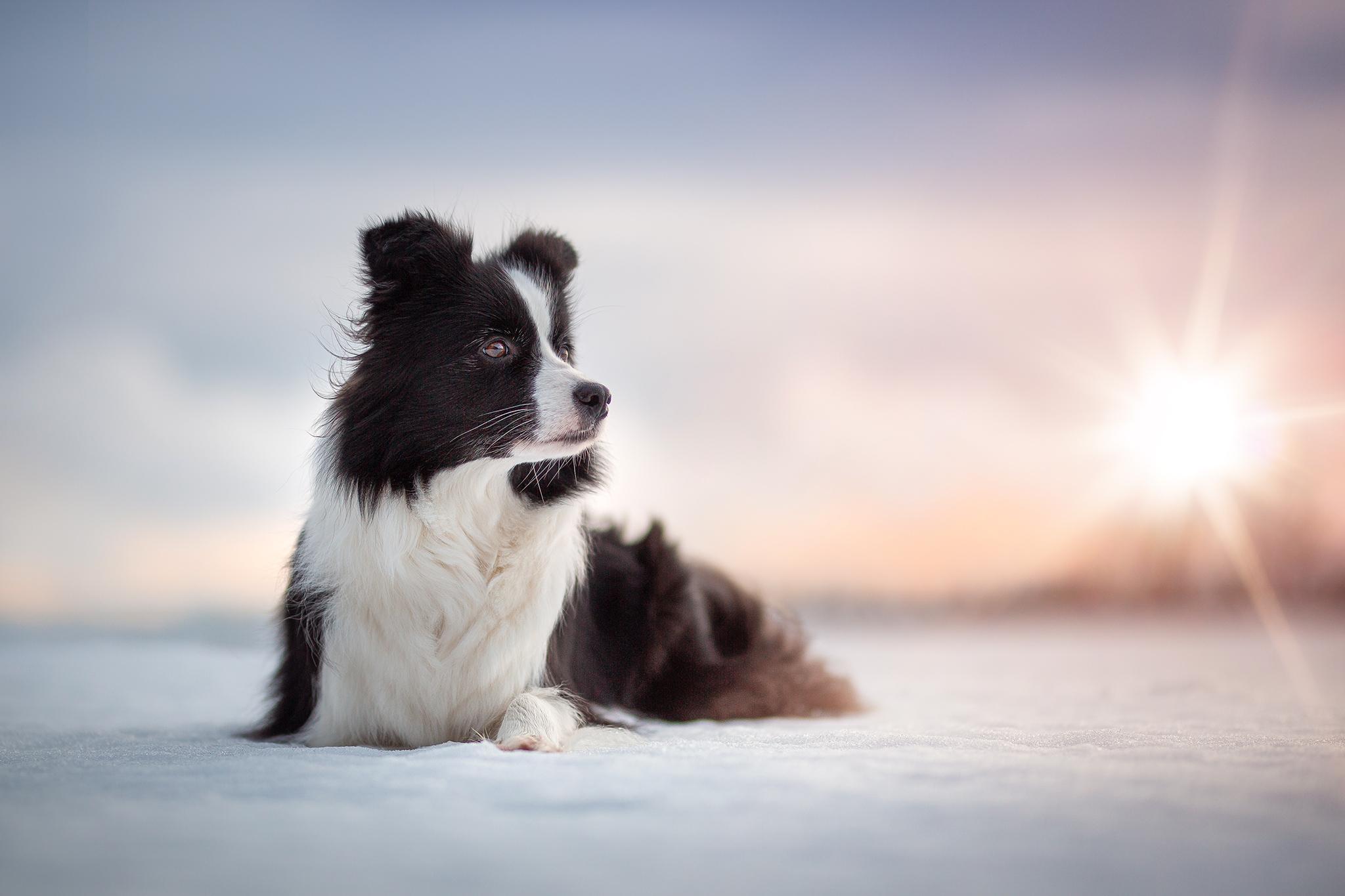 Border Collie Hündin Heidi im Schnee bei Sonnenuntergang