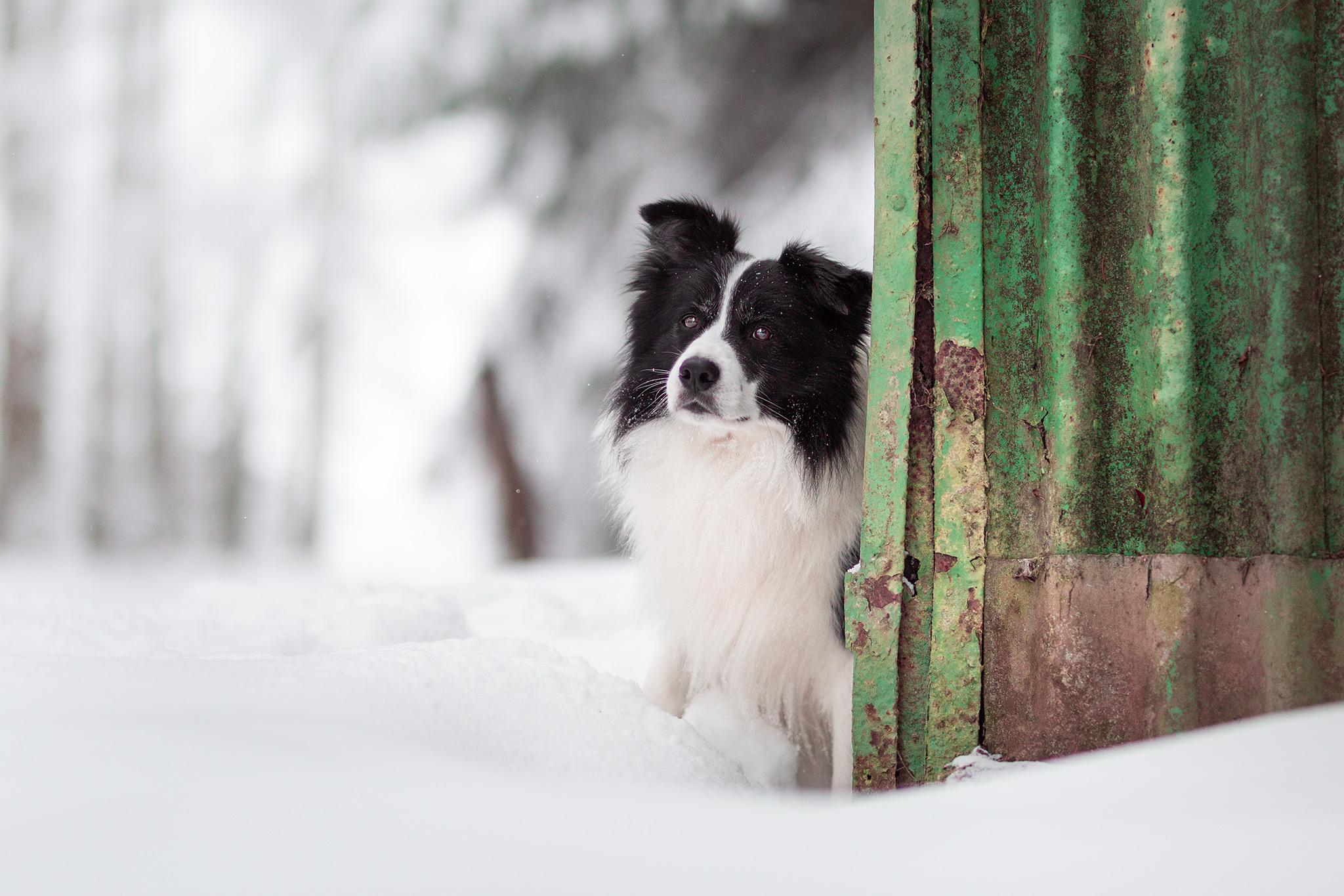 Border Collie im Schnee im Westerwald