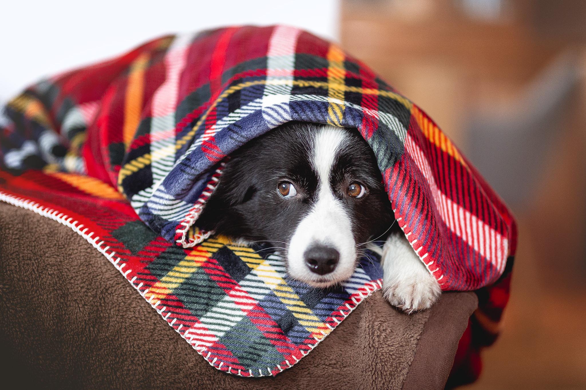 Border Collie Hündin unter Decke mit schottischem Tartan-Muster