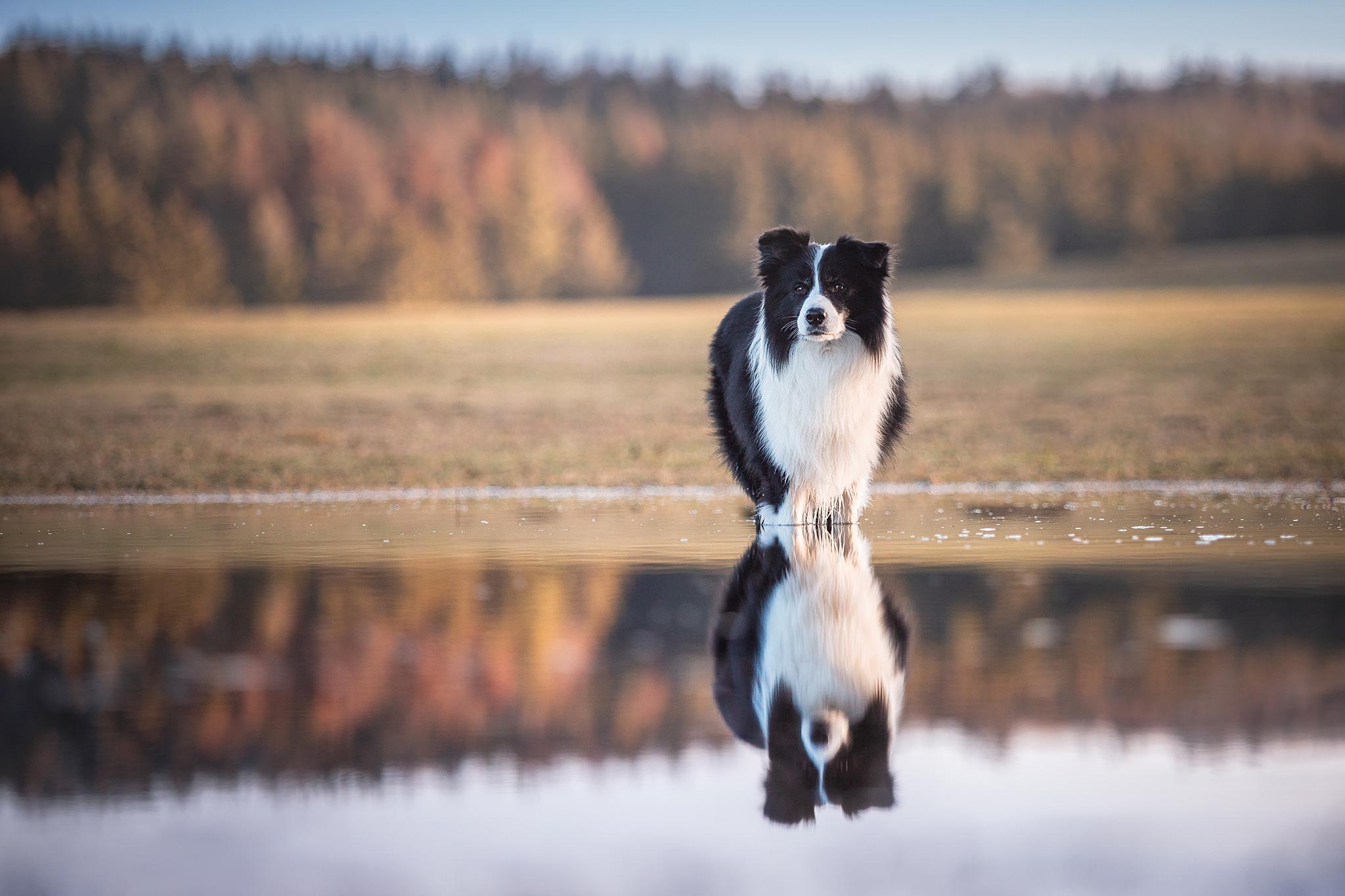 Border Collie spiegelt sich im Wasser