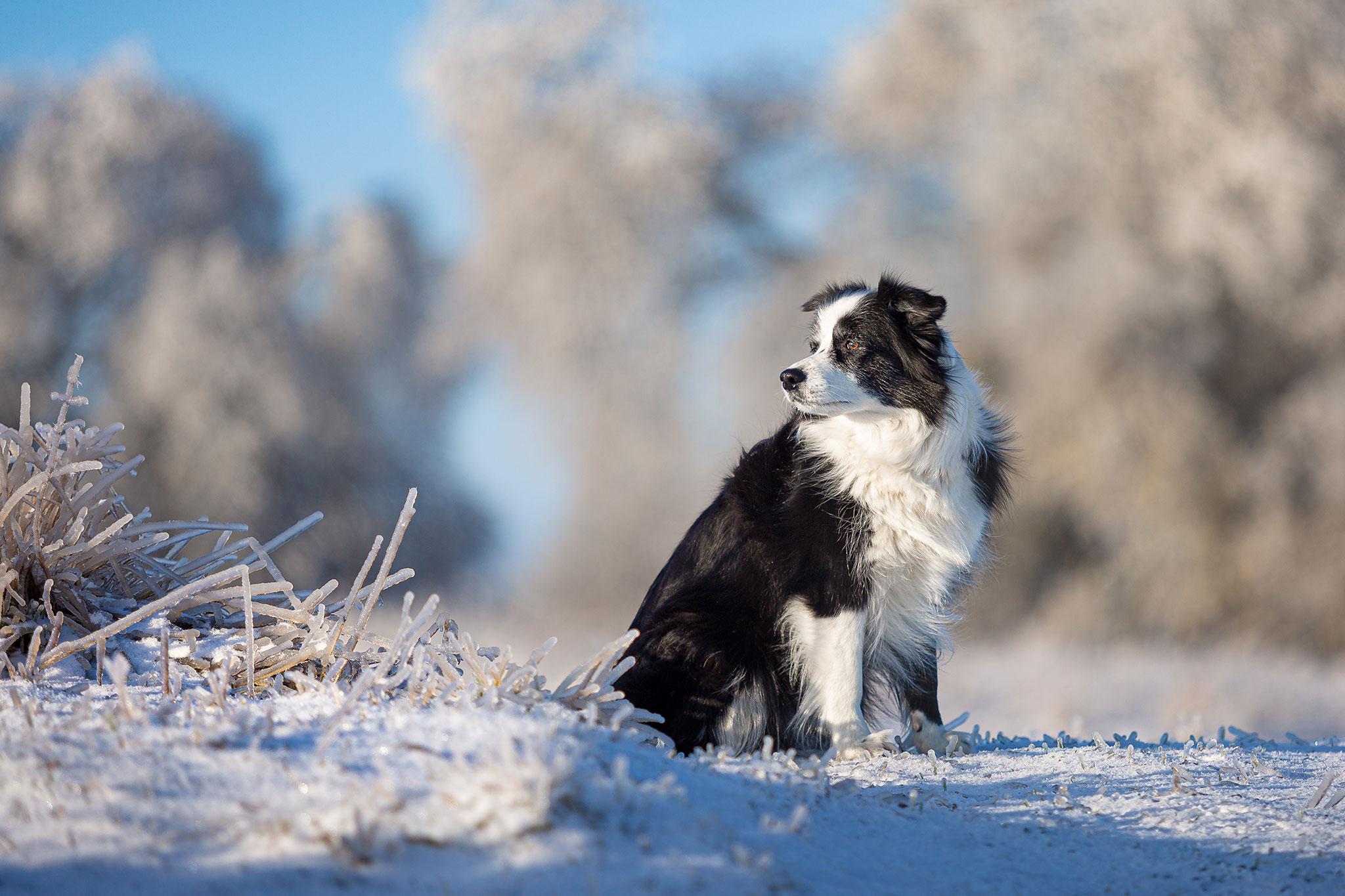 Border Collie Hündin im Frost nach dem Eisregen im Februar 2021