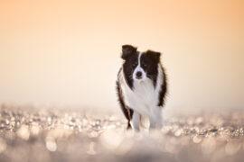 Border Collie auf gefrorenem Feld im Sonnenaufgang