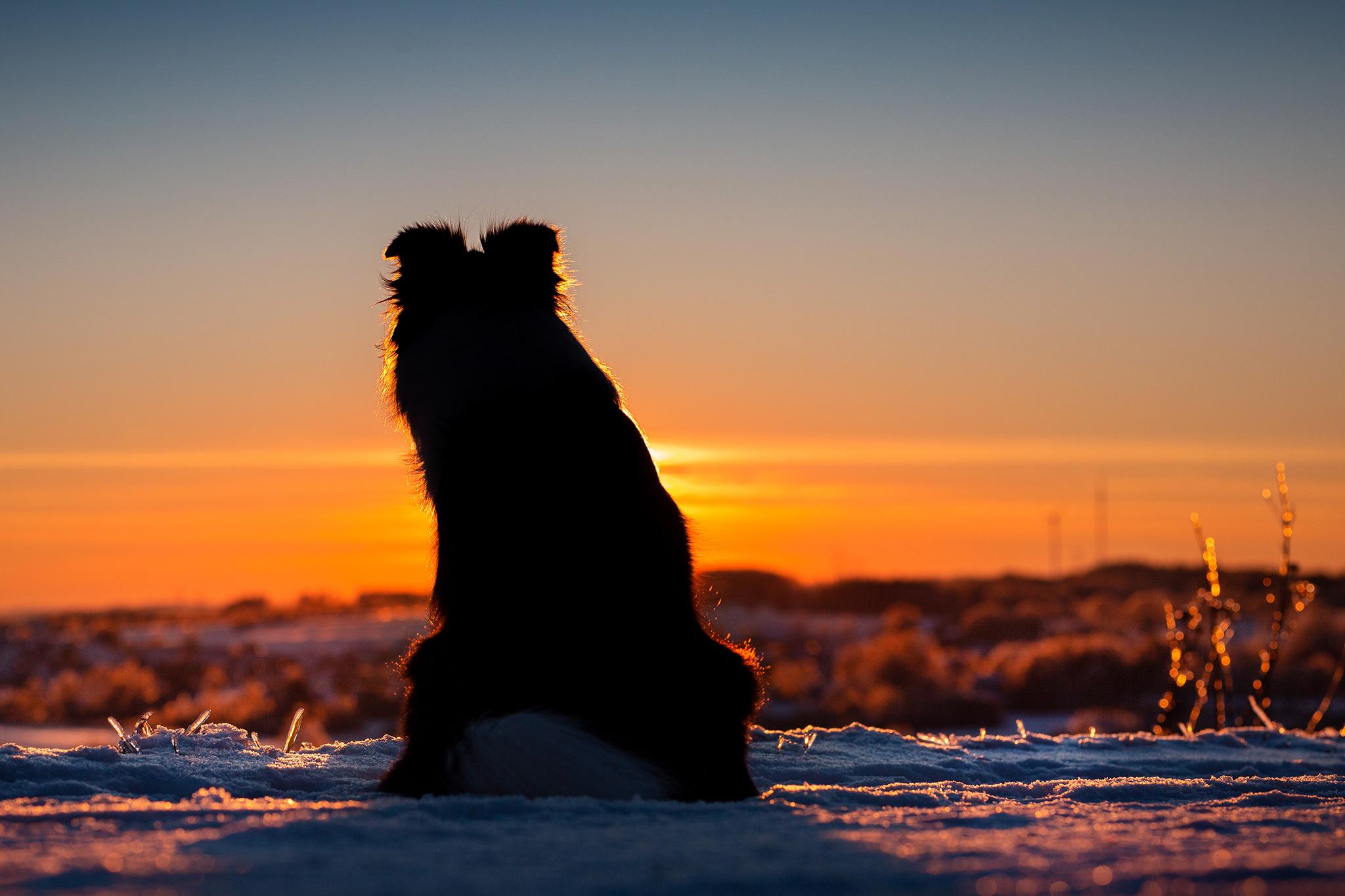 Border Collie Hündin, Schattenriss, im Sonnenuntergang