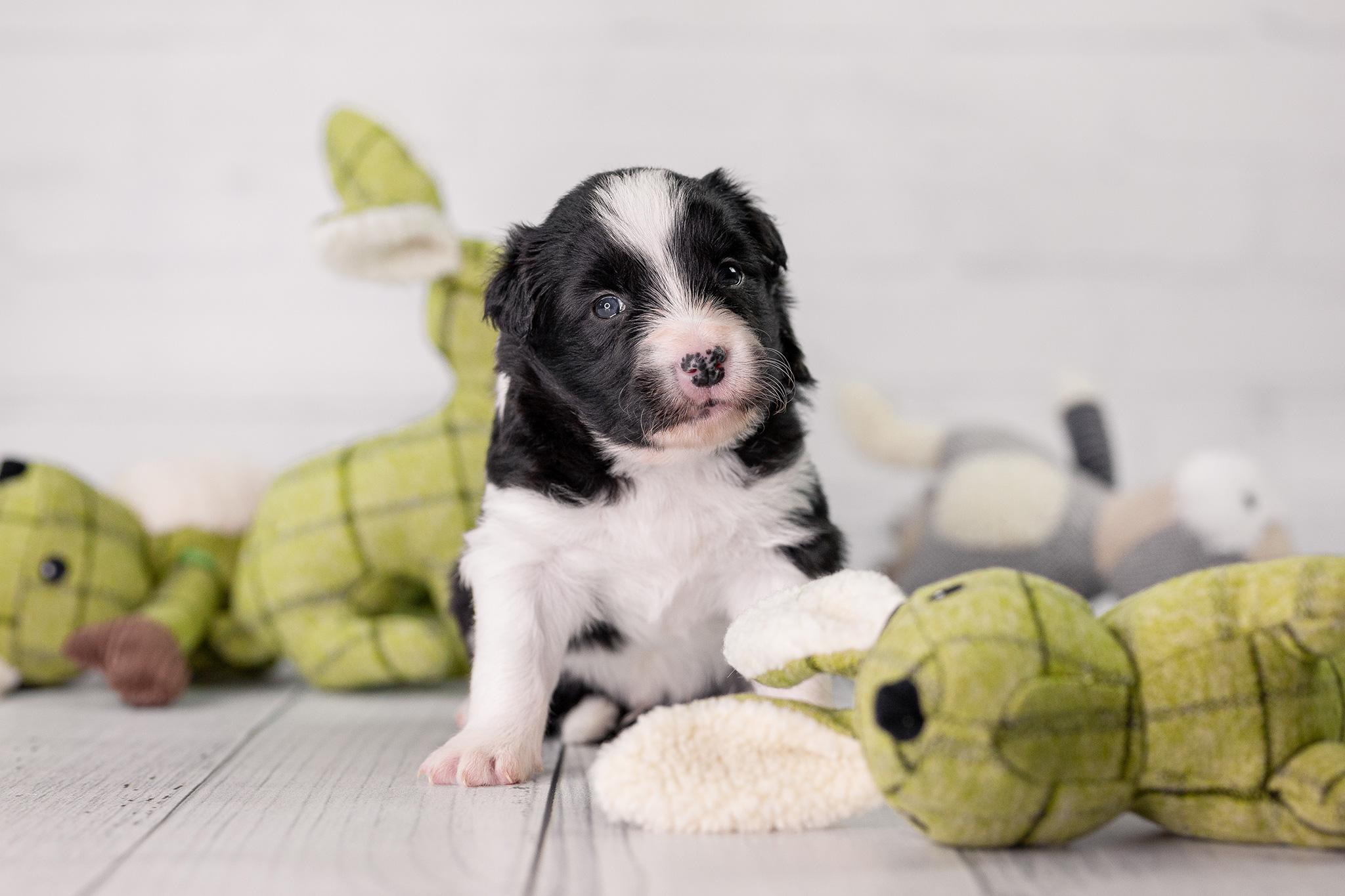 Border Collie Welpe mit Osterhase, drei Wochen alt