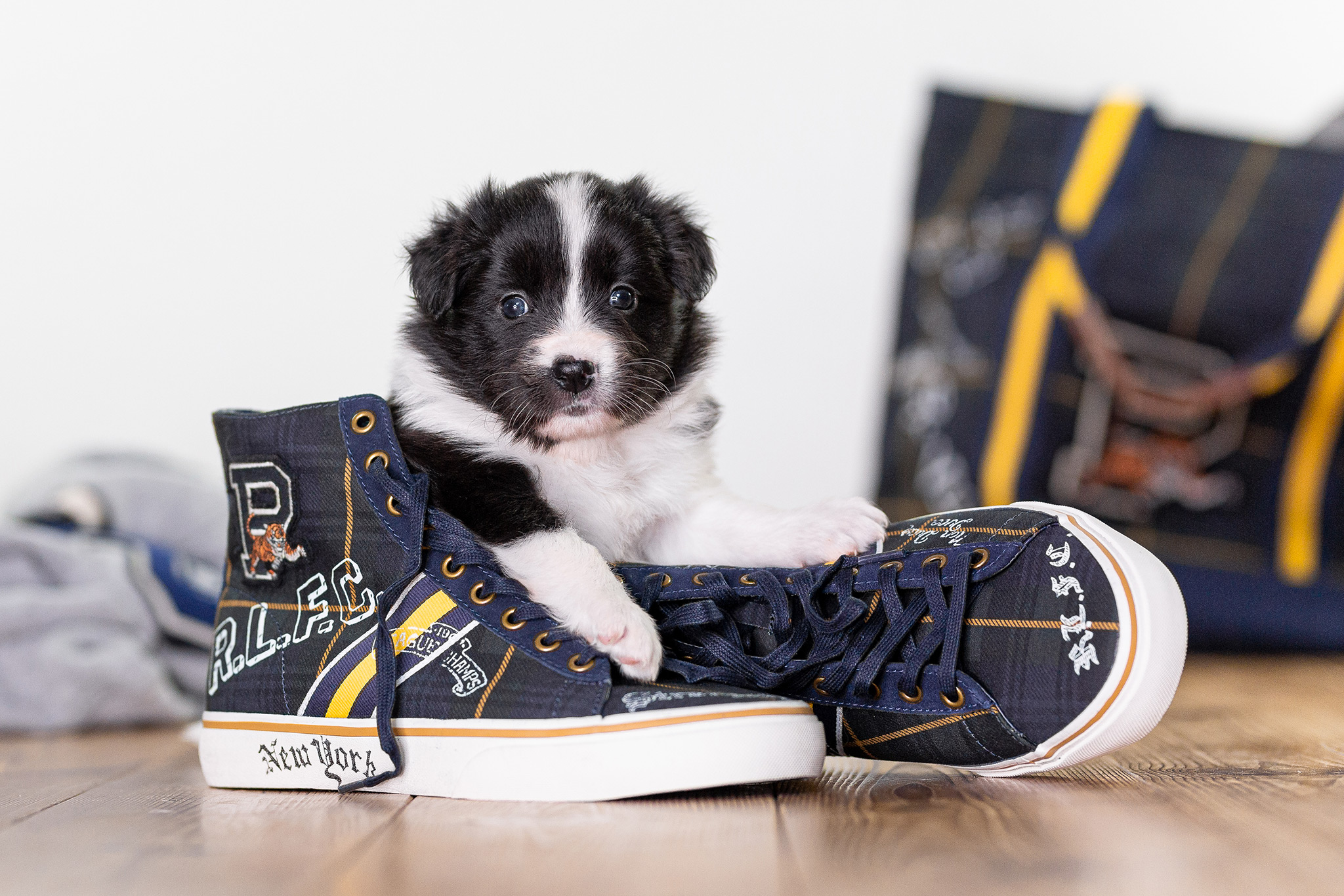 Border Collie Welpe mit Ralph Lauren Sneakers