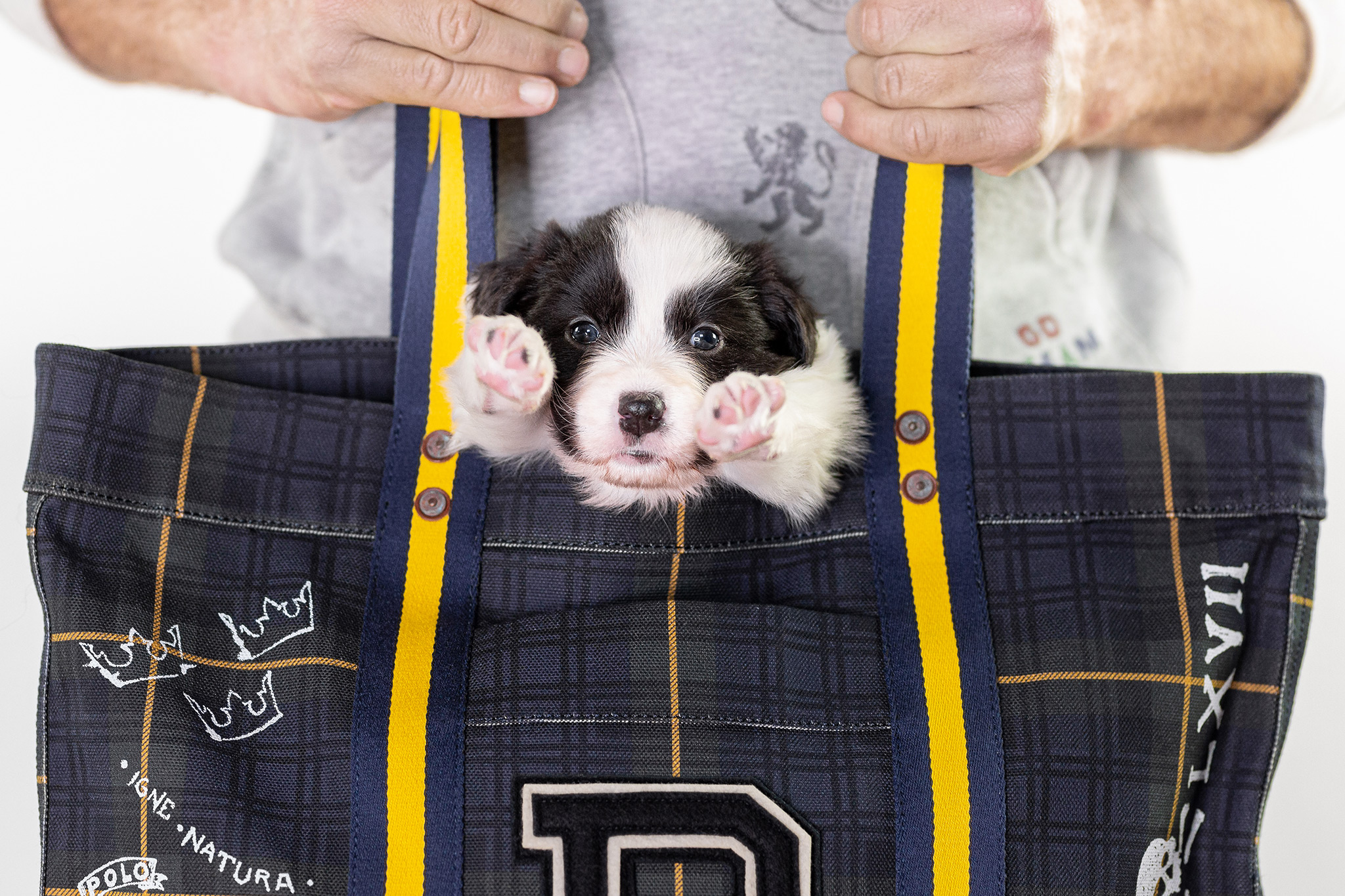 Border Collie Welpe in Polo Ralph Lauren Tasche