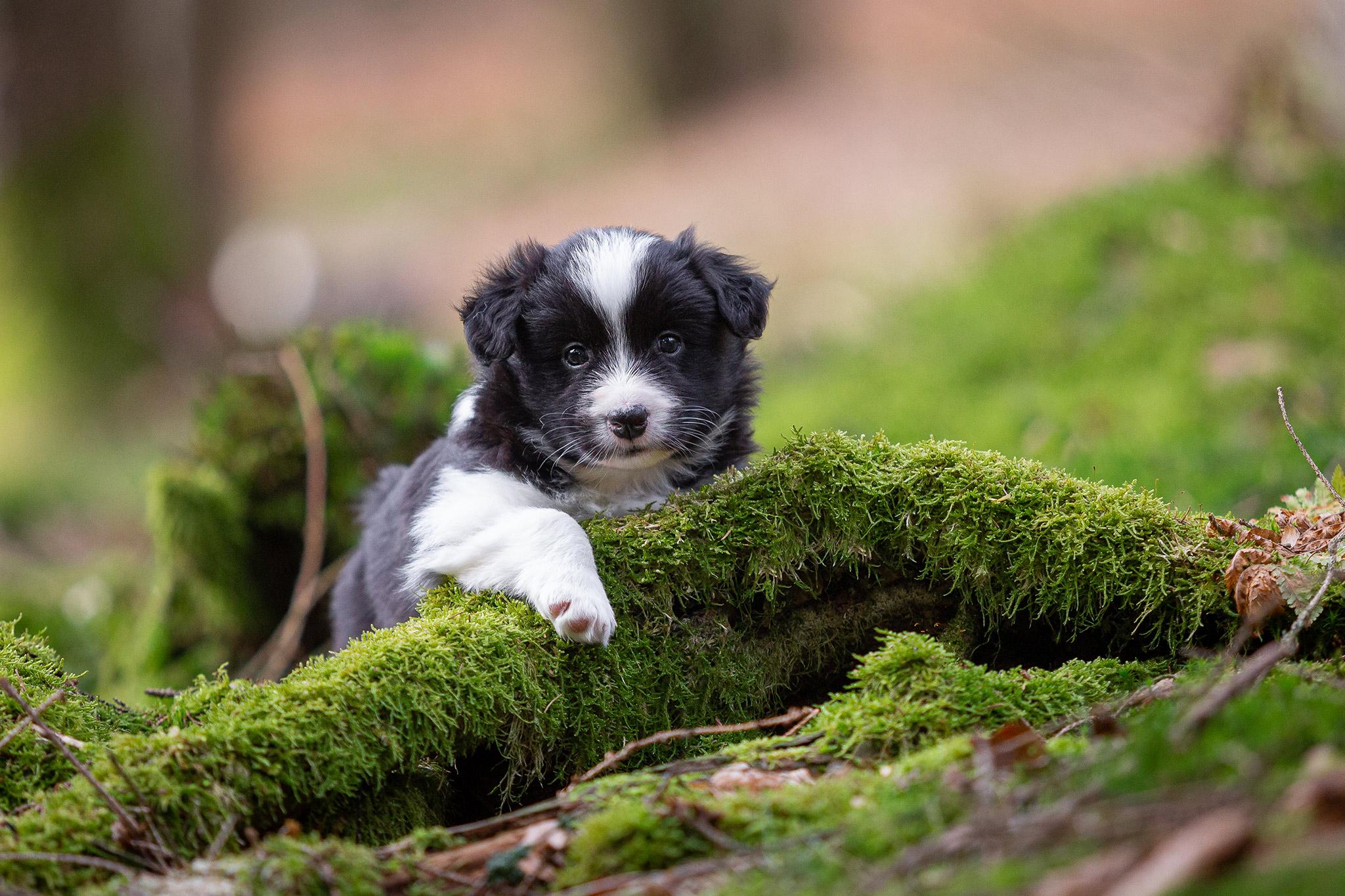 Border Collie Welpen im Wald