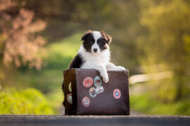8 Wochen alter Border Collie Welpe