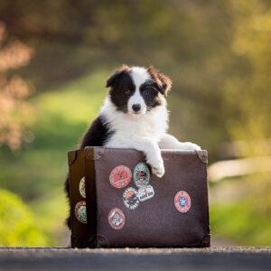 8 Wochen alter Border Collie Welpe