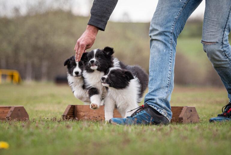 Border Collie Welpe, 9 Wochen alt