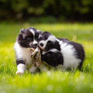 Border Collie Welpen mit Gartenhandschuh