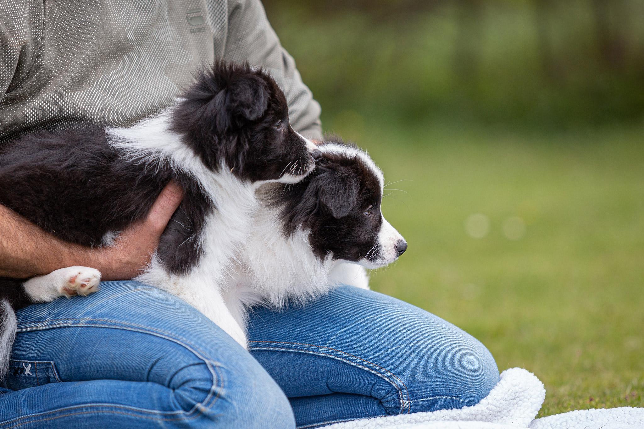 Border Collie Welpen auf dem Hundeplatz